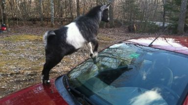 Tough Commute: Bad Goats Occupy Man's Ford