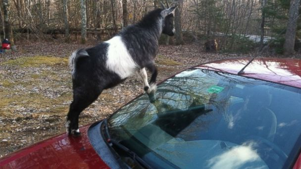 ht goat car kab 140429 16x9 608 Tough Commute: Bad Goats Occupy Mans Ford