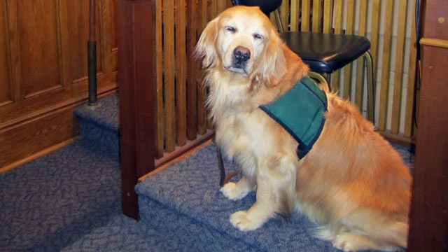 PHOTO:&nbsp;A Golden Retriver named Rose is the first dog to sit on the witness stand in court in New York State.