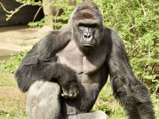4-Year-Old Who Fell Into Gorilla Enclosure Expected to Recover