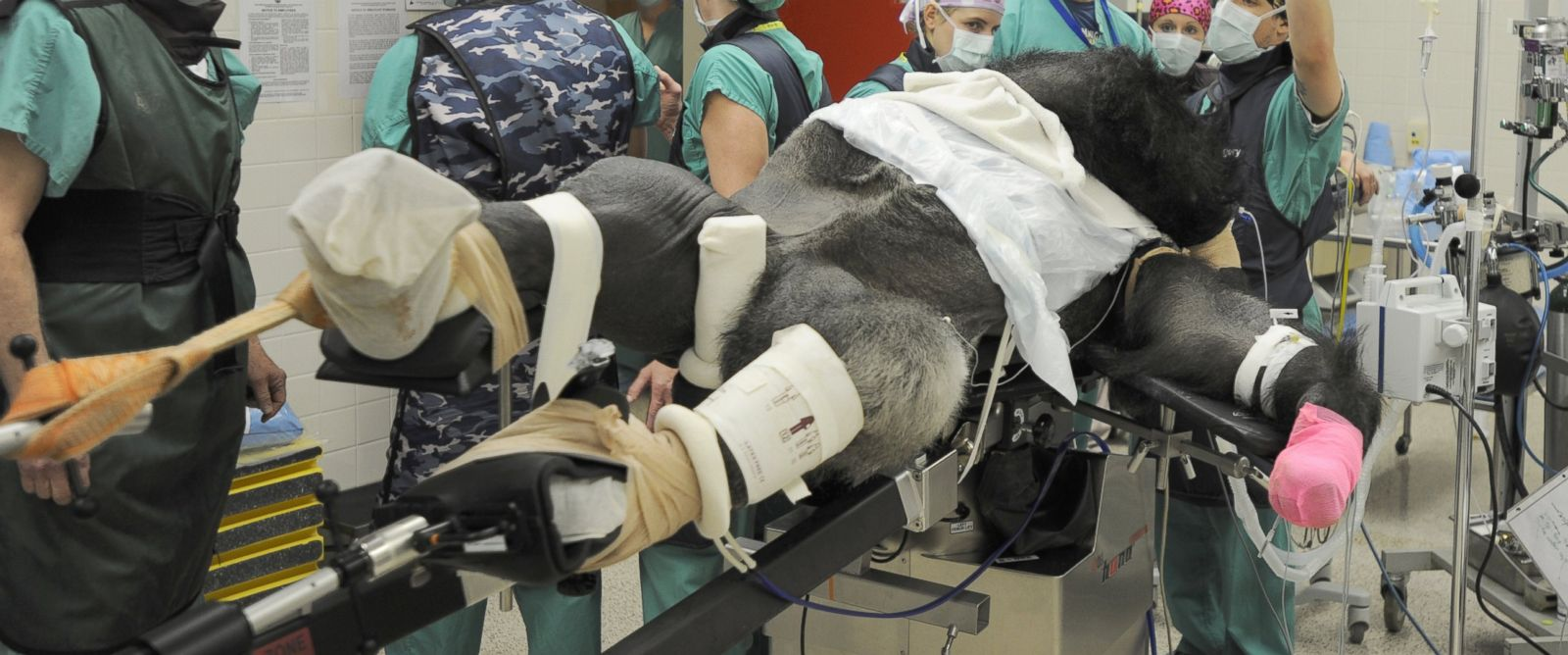 PHOTO: Wanto, a gorilla at the Knoxville Zoo in Tennessee, underwent surgery on Wednesday to fix his broken femur.