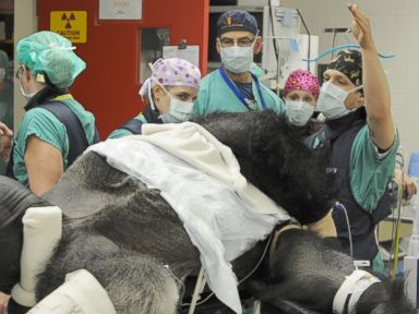Knoxville Gorilla Recovering From Leg Surgery