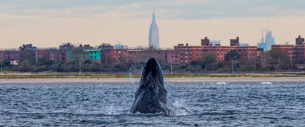 PHOTO: Artie Raslich took this photo of a whale, with New York City in the background.