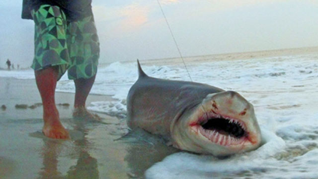 PHOTO: A man stands next to a 7-foot shark that he caught in Ocean City, NJ on Aug. 15, 2012.