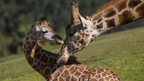 ht leroy giraffe kb 140415 16x9 608 Baby Giraffe Reunited with Family