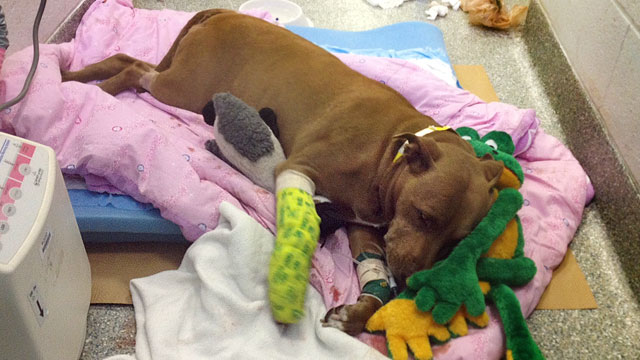 PHOTO: Lily, an 8-year-old Pit Bull, who saved her owner from an oncoming freight train last week, is recovering at Angell Animal Medical Center in Boston.
