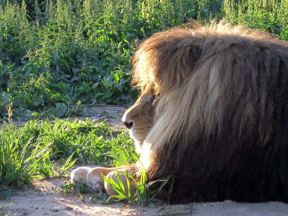PHOTO: A 450-pound lion had a 3.8-pound hairball removed from his stomach in Colorado.