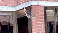 PHOTO Lucky the cat is shown falling from a building. The cat who lived up to his name, survived a fall of 26 stories from a building in New York City.