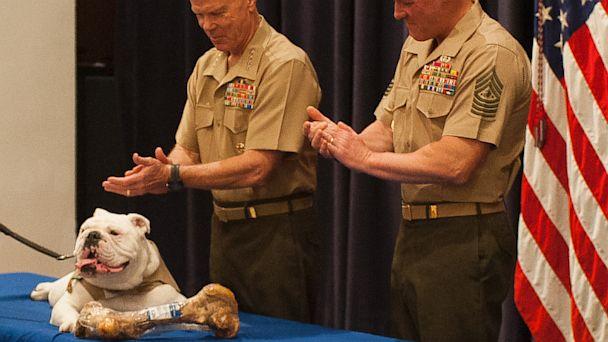 ht marine corp mascot thg Chesty thg 130906 16x9 608 Sgt. Chesty XIII, Marine Corps Mascot, Retires. New Mascot Appointed