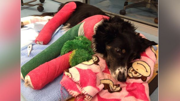 ht molly cast sr 131224 16x9 608 Appeal to Help Veterans Dog Prompts Outpouring of Donations