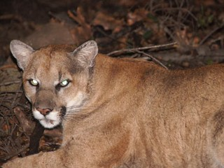 Mountain Lion Calls Los Angeles' Griffith Park Home