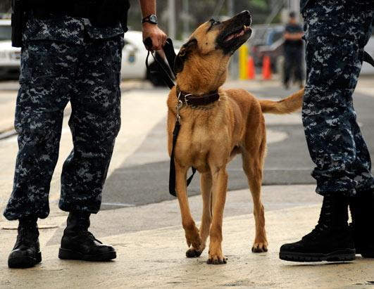 Combat Dogs For Adoption Military Dog Adoptions Soar