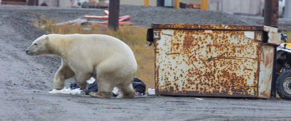 A polar bear walks on a gravel beach on the Beaufort Sea coastline, Alaska while searching for food.