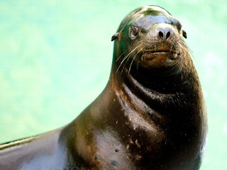 Sneezing Sea Lion Dies After Treatment