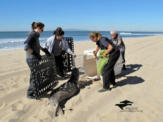 Record Sea Lion Rescue Causes State of Emergency