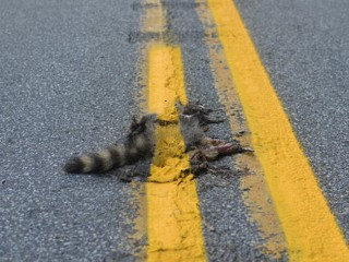 Pennsylvania Raccoon Road Kill Painted Over, Photo Goes Viral