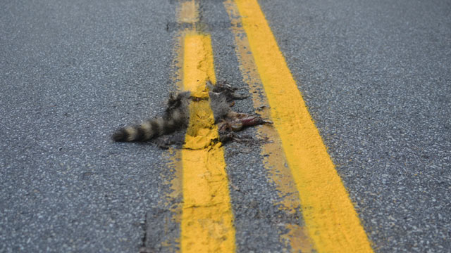 racoon roadkill paved and painted over by lazy roadcrew in pennsylvania