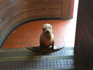 PHOTO: Sea lion pup wanders into the Beach Ball Bar
