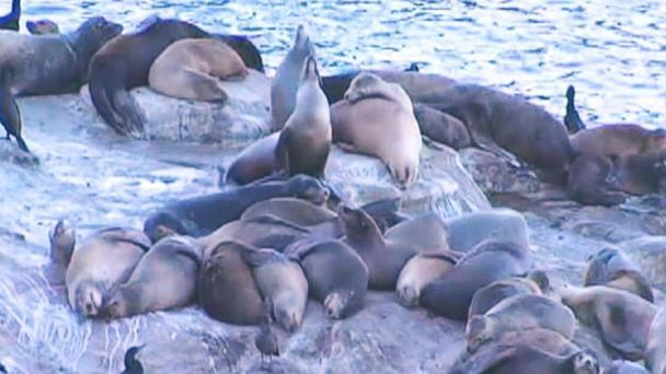ht sea lions kab 131227 16x9 608 Sea Lions Stinking Up the San Diego Coast, Business Owners Suing