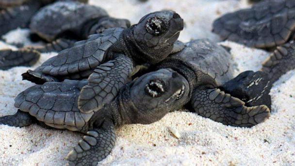 ht sea turtle 7 mi 130705 16x9 608 Human Wall Leads Baby Turtles to the Ocean