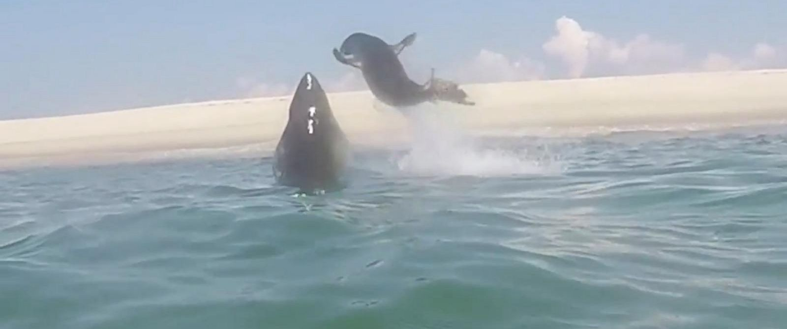 PHOTO: A video from the Atlantic White Shark Conservancy on Monday shows a great white shark leaping out of the water trying to grab a seal.