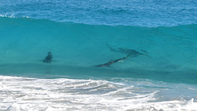 PHOTO: A pod of spinner sharks is seen through a wave at Midtown Beach in Palm Beach, Fla.