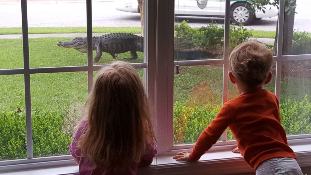 kids in awe of gator on front lawn in south carolina   abc