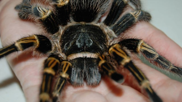 PHOTO: A large adult tarantula like those commonly used by clinical psychologists during exposure therapy for spider phobia is shown.