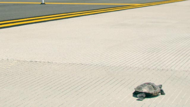 PHOTO: More than 100 turtles have delayed flights at Kennedy Airport as they make their annual trek across a normally busy runway to get to a sandy area next to the water where they lay their eggs.