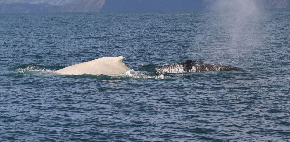 PHOTO: A white humpback whale with a normal black humpback whale on July 5, 2007 in Cook Strait, New Zealand.