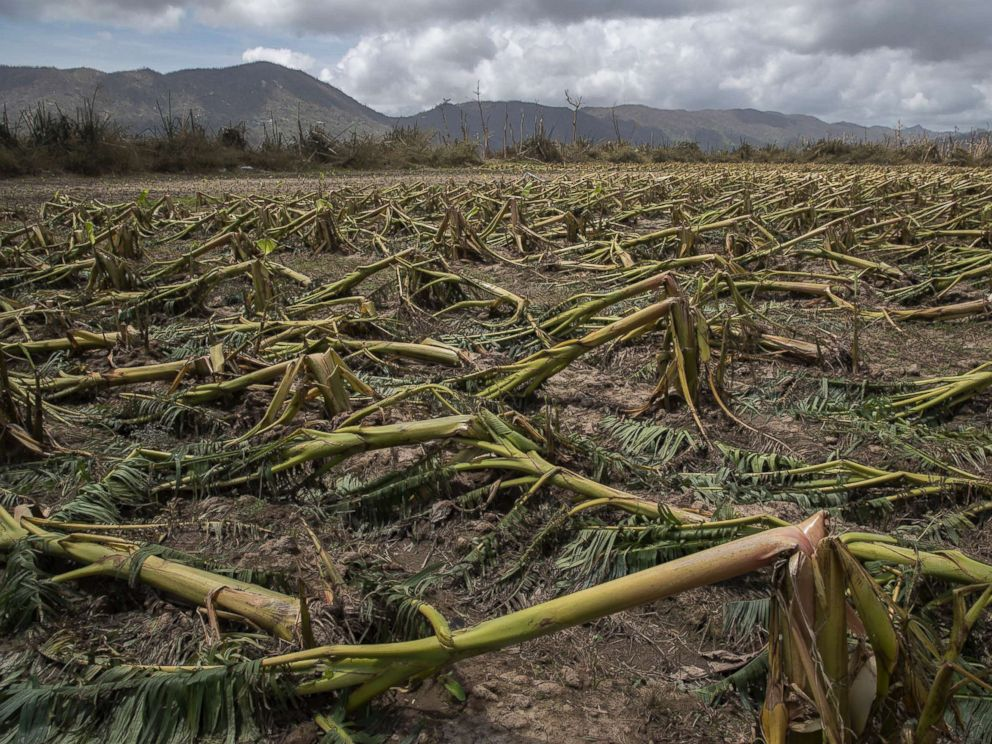 PHOTO: Flattened plantain trees line the ground in Yabucoa, Puerto Rico, Sept. 24, 2017.
