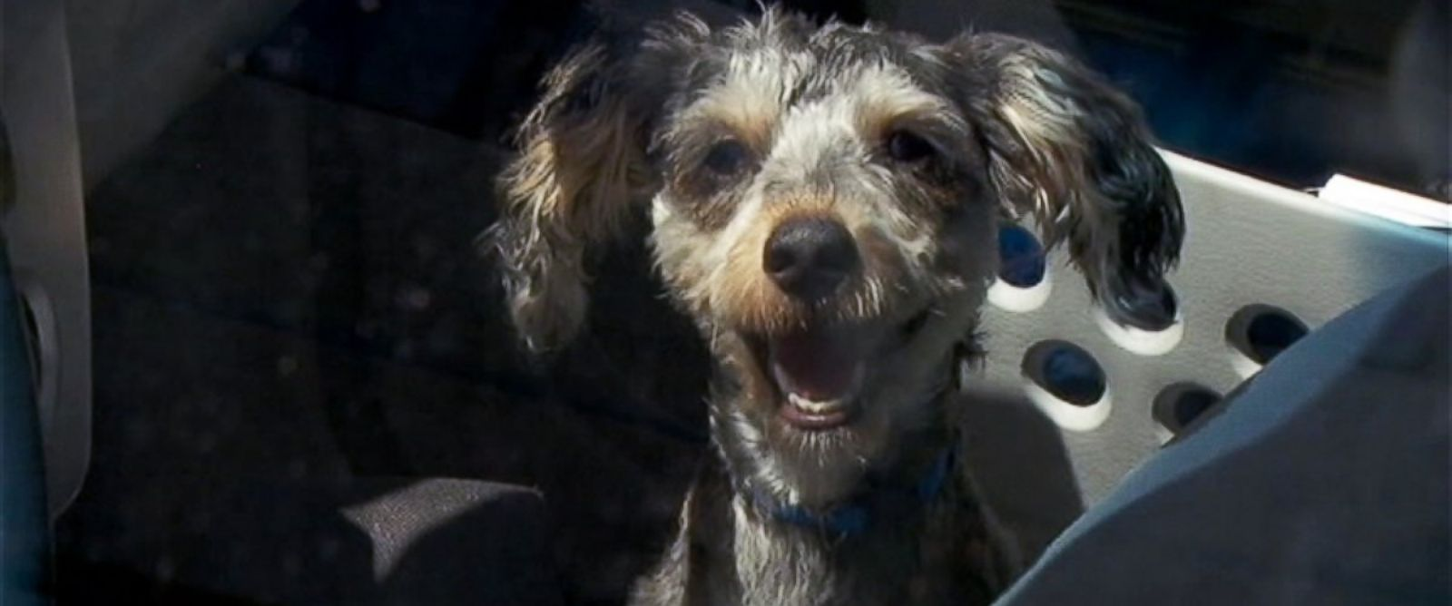 """PHOTO: A puppy named """"Bear"""" was rescued from a car where temperatures were estimated to be over 100 degrees in Multnomah County, Oregon."""