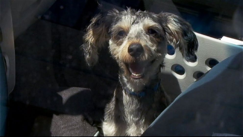 "PHOTO: A puppy named ""Bear"" was rescued from a car where temperatures were estimated to be over 100 degrees in Multnomah County, Oregon."