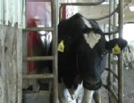 VIDEO: Robots send cell phone alerts, milk up to 60 cows a day and allow cows to control their own schedules.