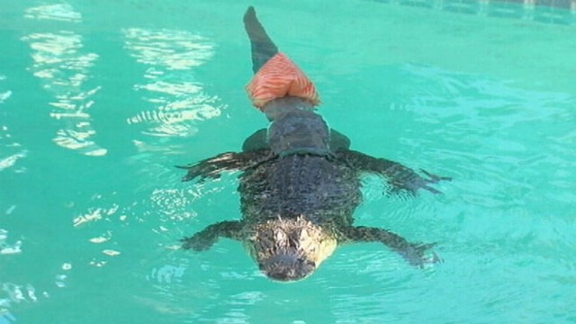 VIDEO: Gator at the Phoenix Herpetological Society is re-learning how to swim.