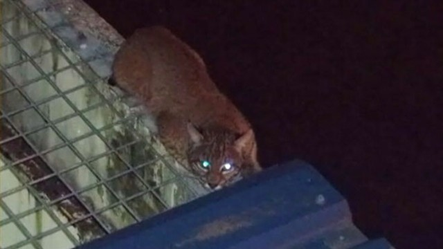 VIDEO: The bobcat was sedated on the roof of the prisons special offenders unit.