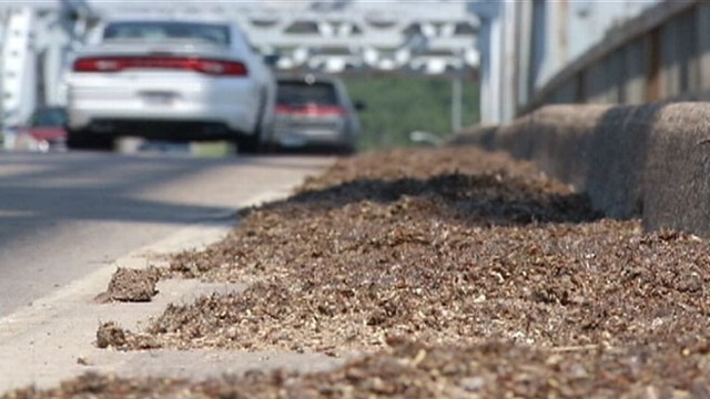 VIDEO: A 4-inch thick layer of mayflies led to slick road conditions on a Minnesota bridge.