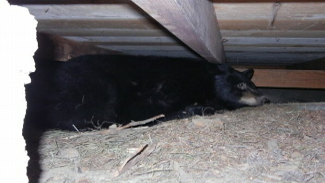 VIDEO: Molly Reynolds shares her Montana cabin with a hibernating bear.