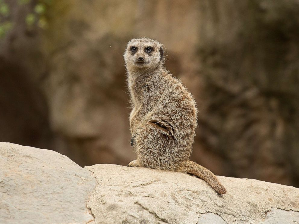 PHOTO: A Meerkat looks on at the Los Angeles Zoo on June 11, 2016.