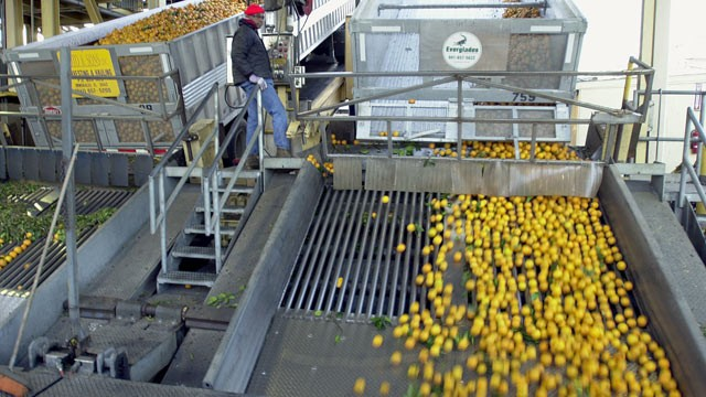 PHOTO: Juice oranges are show during the production process at the Tropicana plant in Bradenton, Fla., in this file photo.