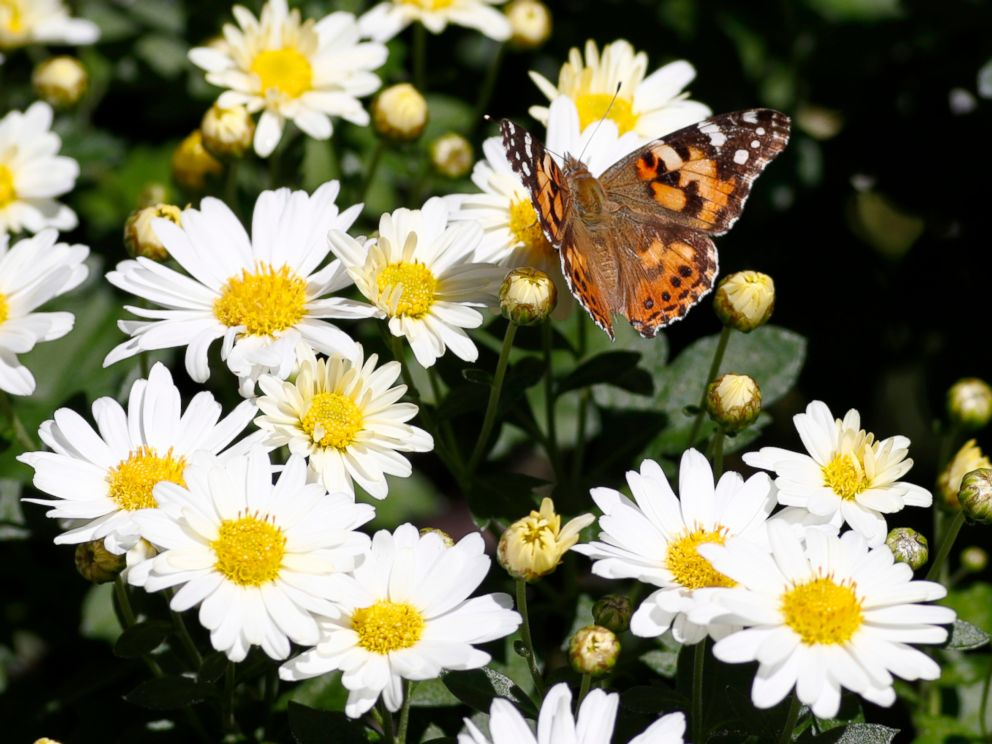 PHOTO: A painted lady butterfly flies near daisies in a garden in downtown Denver, Oct. 4, 2017.