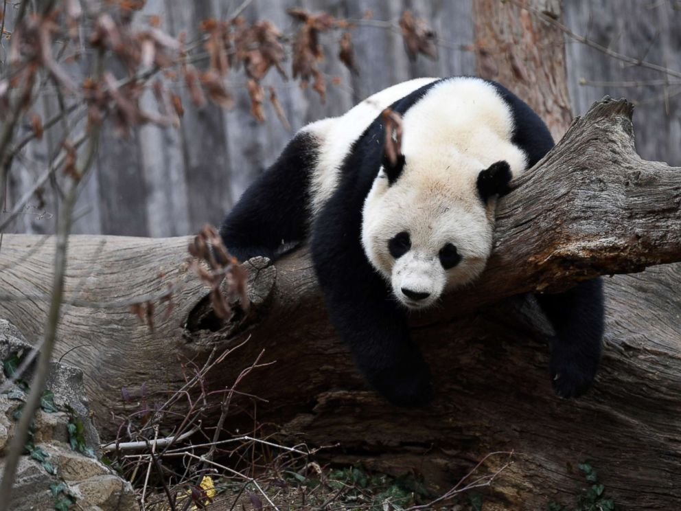 PHOTO: Giant panda Bao Bao plays before leaving the zoo, in Washington, Feb. 21, 2017.
