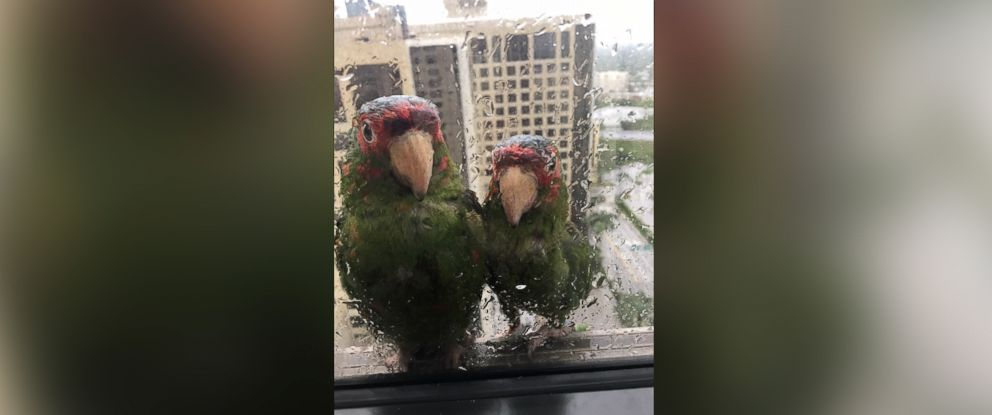 PHOTO: Two parrots seek shelter at the edge of a 22nd-floor window at Dadeland Marriott in Kendall, Florida, Sept. 9, 2017.