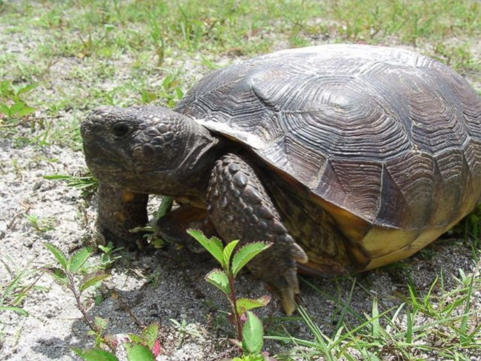 PHOTO: Not all turtles can swim, wildlife authorities in Florida had to remind everyone recently after receiving reports of at least three people trying to release tortoises into the ocean after mistaking them for sea turtles.