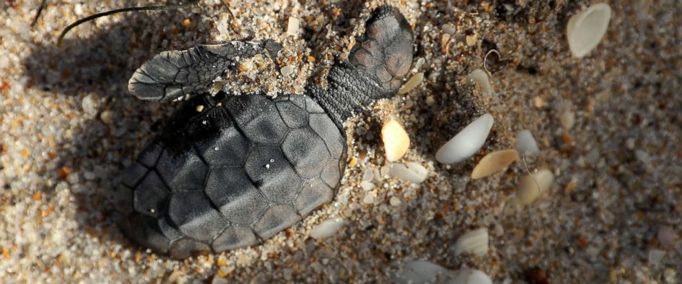 PHOTO: A Loggerhead sea turtle hatchling is half buried in the sand after drowning during Hurricane Irma along Fort Lauderdale Beach, Sept. 11, 2017, in Fort Lauderdale, Fla.