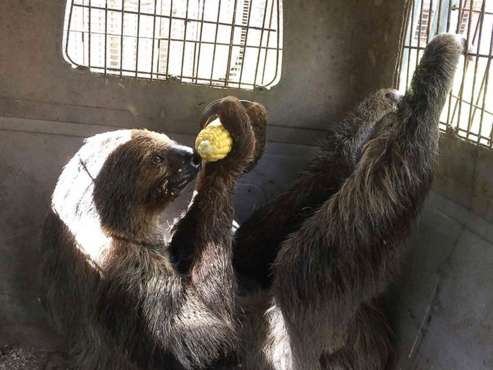 PHOTO: Mo the sloth eats an ear of corn as it is evacuated from the Monroe County Sheriffs animal farm Sept. 9, 2017, in Key West, Fla. The 250 animals from the farm were relocated to the city jail.