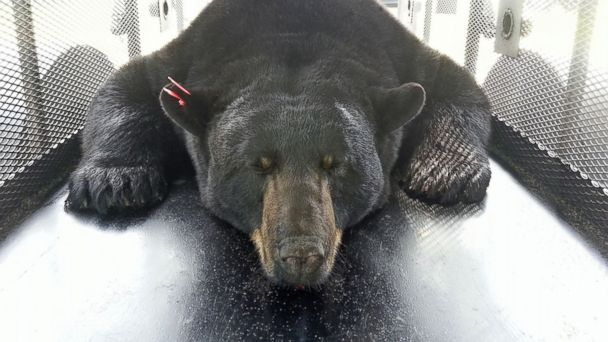 spl florida black bear ll 131205 16x9 608 Fla. Officials Kill Bear Linked to Attack on Mom