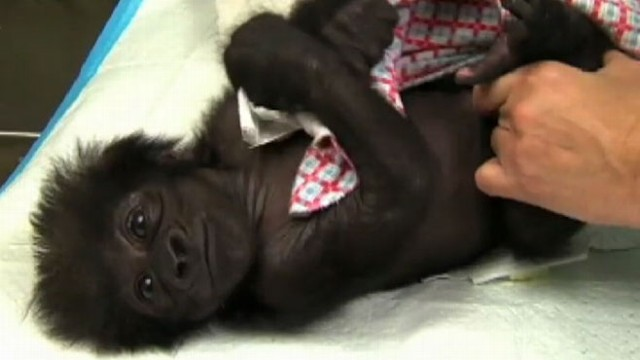 VIDEO: The Cincinnati Zoo plans to use a surrogate to socialize the infant for a future life with gorillas.