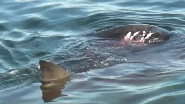 VIDEO: Increased shark activity leaves beachgoers bummed for Labor Day weekend.
