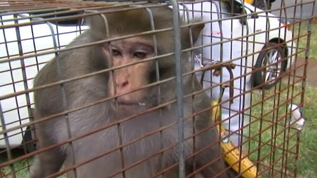 VIDEO: Elusive primate was caught after running wild in Tampa for almost three year